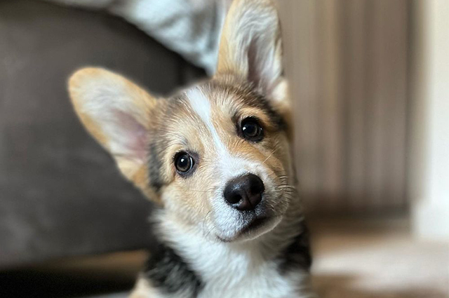 Image of Corgi dog in apartment